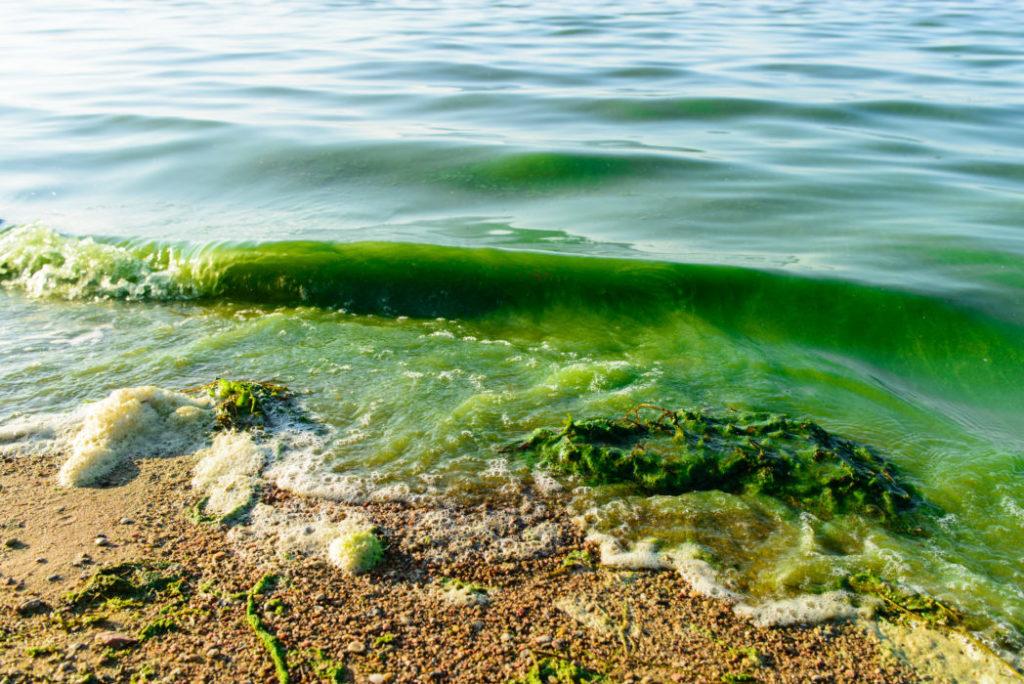 strand med bølge  som er grønn av alger