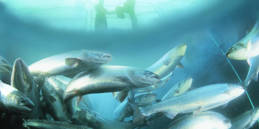 Laks i merd, foto Marine Harvest