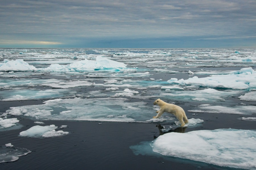 Polar bear in Svalbard, Norway