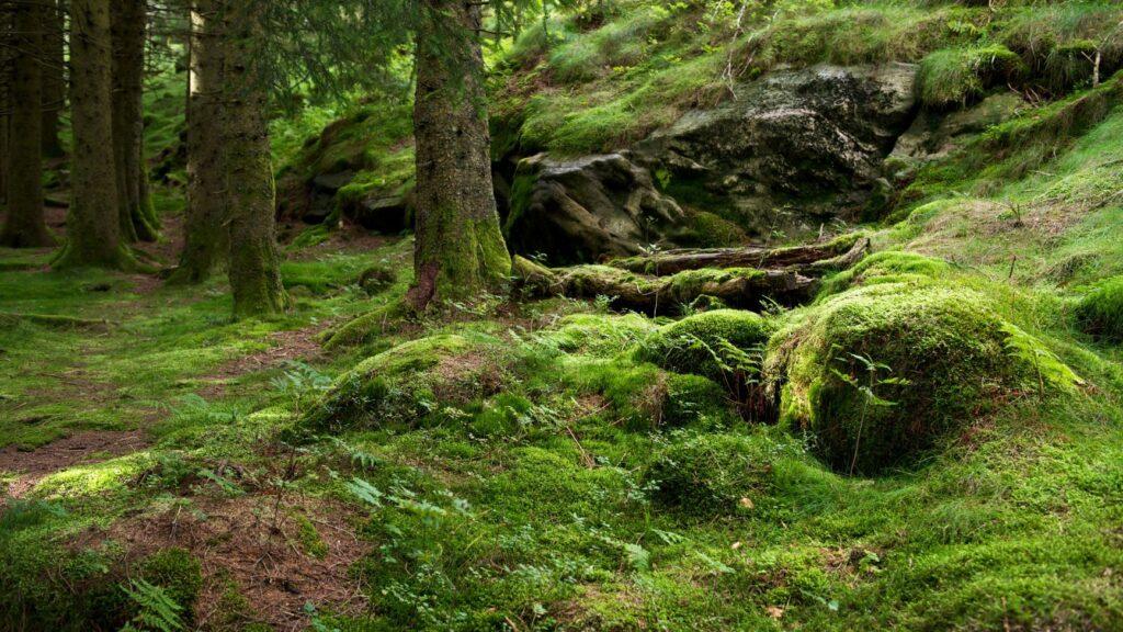 Furuskog utenfor Bergen (Foto: Shutterstock)